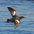 Breeding plumage adult in flight. Note: black body, broad white wing patches, and red feet.