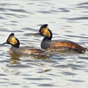 Pair of breeding adults