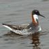Female breeding plumage